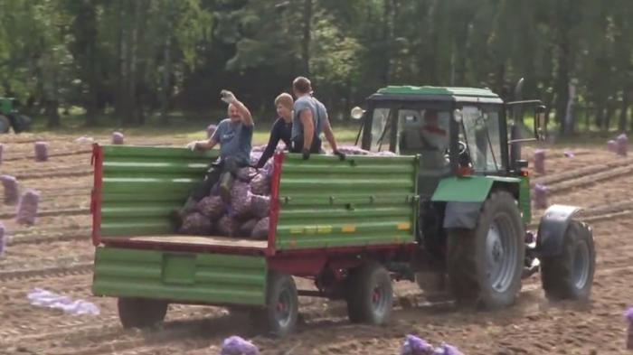 Александр Лукашенко вместе с сыном выкопали 105 тонн картофеля на своём участке