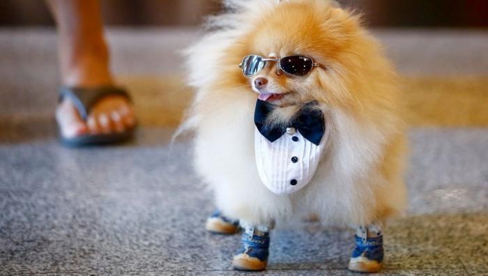 Чиновница из США потратила бюджетные средства на смокинг для собаки