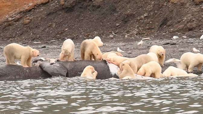 Арктика: 230 белых медведей собрались вместе на пир