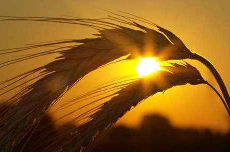 Аграрии Краснодара собрали рекордный за последние 10 лет урожай зерна