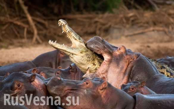 ВЮжной Африке сняли навидео схватку крокодила состадом бегемотов (ВИДЕО)   Русская весна