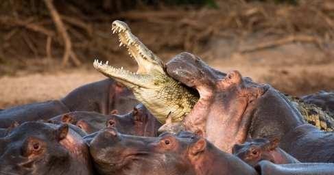 Африка: схватка крокодила состадом разъярённых бегемотов