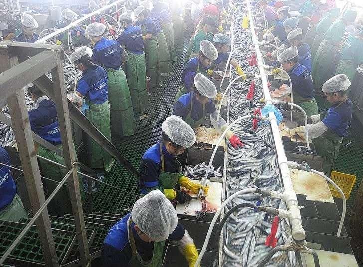 Гастарбайтеры из Северной Кореи разделывают рыбу быстрее любого автомата. Фото: Алексей БОЯРСКИЙ