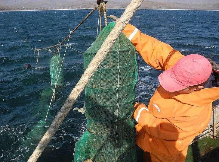 Аквакультурный гребешок растет и питается в море как дикий, но только в сетке. Фото: Алексей БОЯРСКИЙ