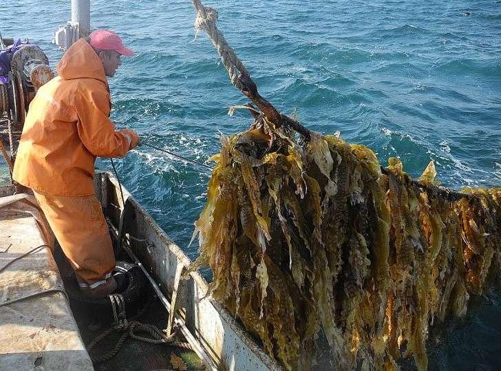 Даже в советские времена дефицита дикой морской капустой были завалены все магазины, а сейчас её приходится специально разводить. Фото: Алексей БОЯРСКИЙ