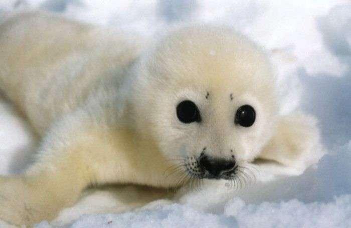 тюленья война - 02