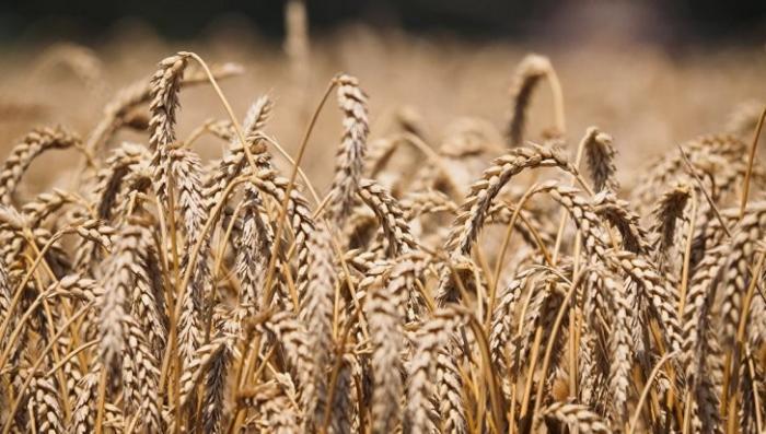 Россия подкосила ГМО из Америки. США проиграли нам «пшеничную войну 2017»