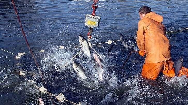 Российские рыбаки добыли более 4,2 млн тонн— на2,4% больше уровня рекордного 2016 года