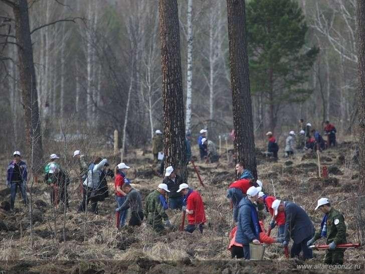 Живи, лес! ВАлтайском крае высадили более 500 гектаров леса