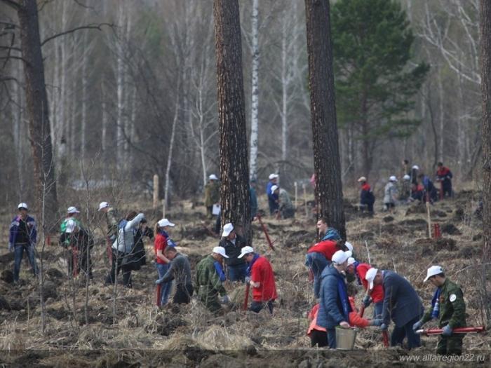 ВАлтайском крае в рамках акции «Живи, лес!» высадили более 500 гектаров леса