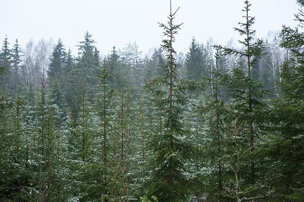 ВКалининградской области высажено более 600 тысяч деревьев в 2017 году