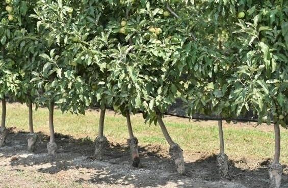 НаКубани высажено 1152 гановых садов в 2017 году