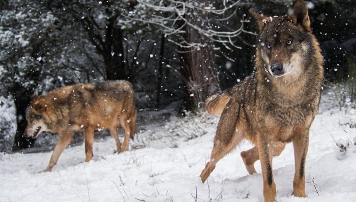 Юмор. О рейде русских волков в Финляндию. Новогодний фельетон