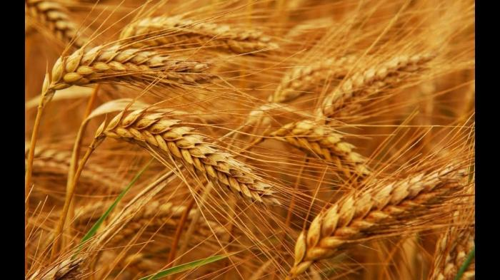 Крым, после присоединения к России, удивил всех своим урожаем зерна