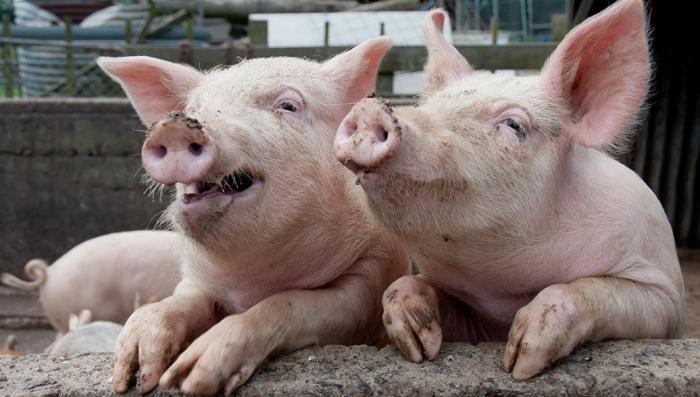 Удар свиньёй: чем грозит России иск Евросоюза в ВТО