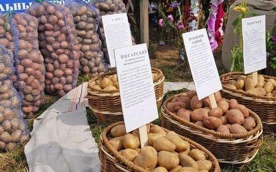 Брянская область стала лидером по производству картофеля в России
