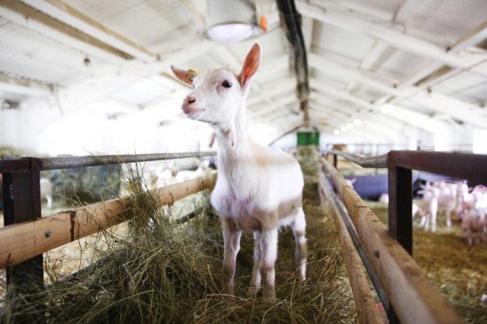 Вреспублике Марий Элзапустили крупнейшую вРоссии и в Европе козью ферму