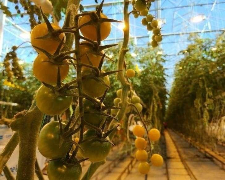 Агро-Инвест запустил 25 гектаров третьей очереди тепличного комплекса вКалужской области