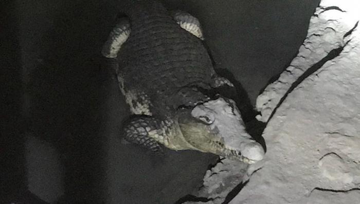 Петербург. При обыске полиция нашла крокодила и 20 самодельных бомб