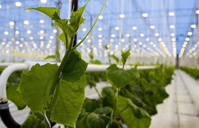 Во Владимирской области зимой выращивают овощи без химикатов