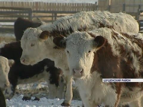 ВКрасноярском крае наместе разрушенной фермы создали новое животноводческое предприятие