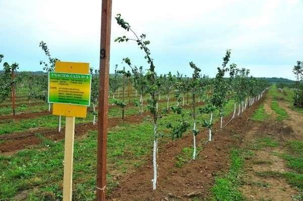 В Новгородской области начинают промышленное производство яблок