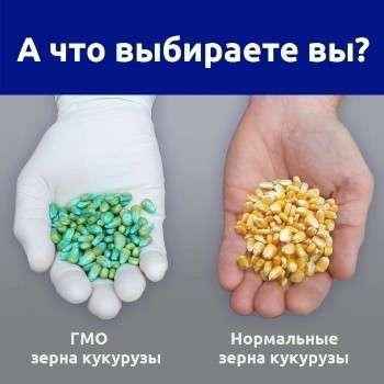 ГМО кукуруза