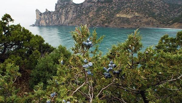 В Крыму дикие застройщики вырубают краснокнижные деревья