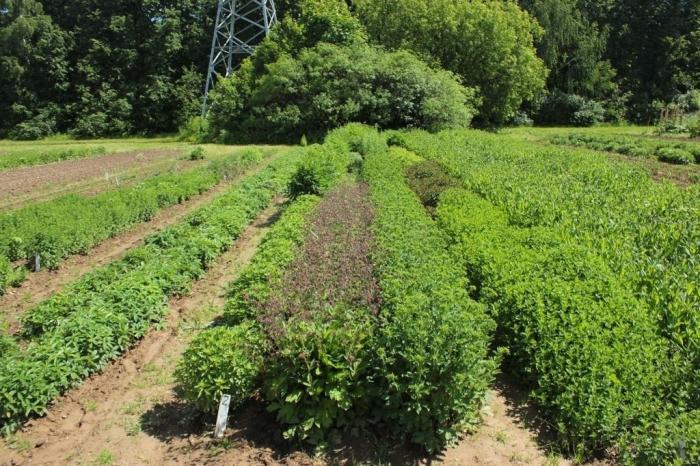 ВБурятии впервые начнут выращивать лекарственные растения