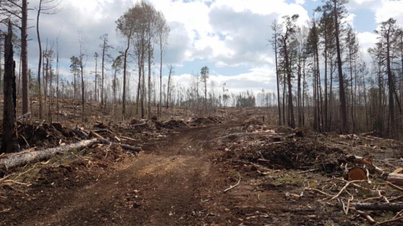 Чиновники уничтожили особо ценный лес, вместо того, чтобы взять его под защиту