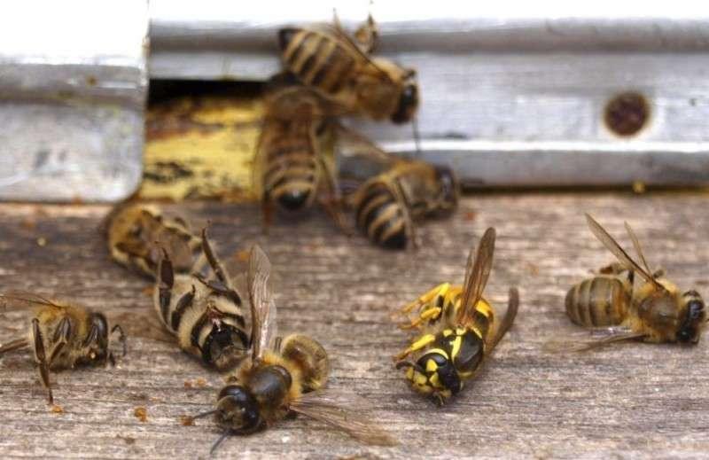 Пчелиный апокалипсис. Количество пчёл с каждым годом становится меньше
