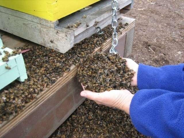Пчеломор: в Канаде от ГМ-кукурузы одновременно погибло 37 миллионов пчёл