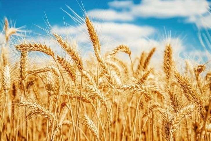 Российский экспорт пшеницы показал отличный старт вновом сезоне