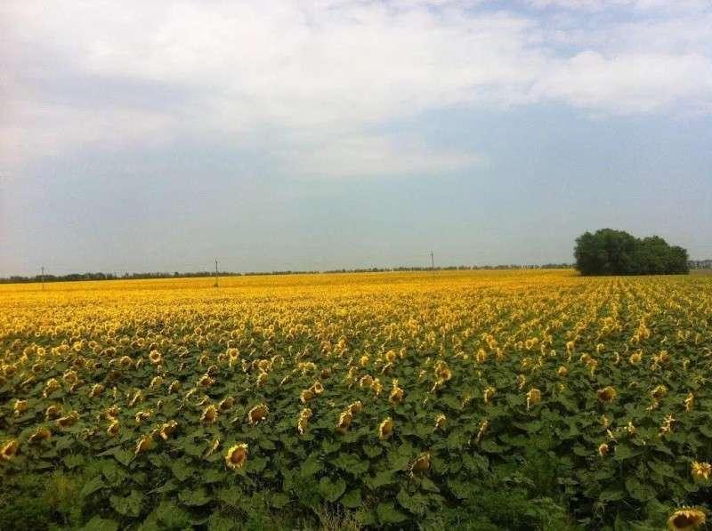 Дикий безпредел в Краснодарском крае: концерн «Покровский» нагло убирает чужой урожай