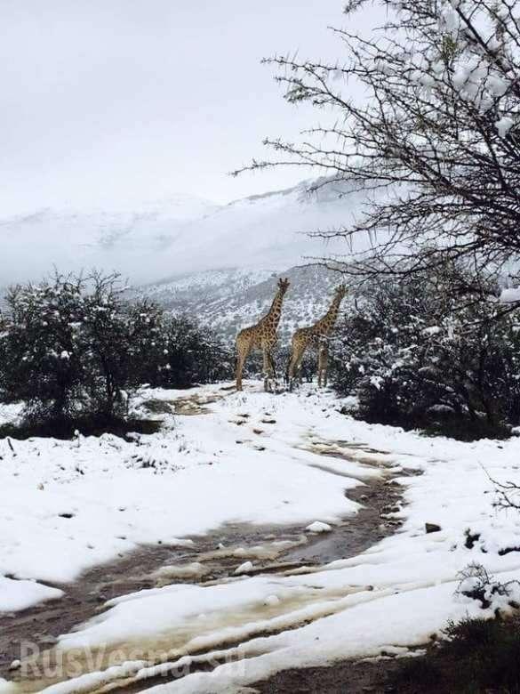 Южную Африку завалило снегом: жирафы ислоны бродят посугробам (ФОТО, ВИДЕО) | Русская весна