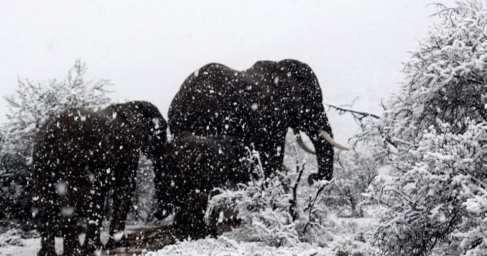Африку завалило снегом, слоны и жирафы бродят посугробам