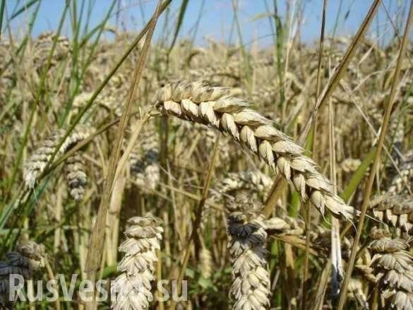 Фермеры США боятся конкурировать с российской пшеницей | Русская весна