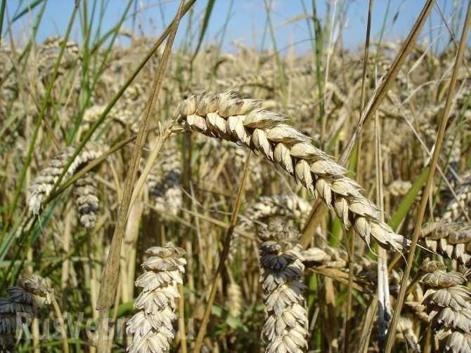 Фермеры США боятся конкурировать с российской пшеницей