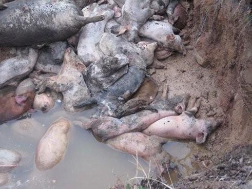 Европейских свиней косит африканская чума, от свинины из Бельгии отказались 13 стран