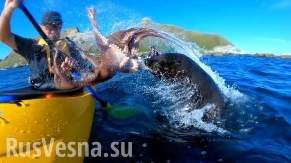 Тюлень наказал австралийца осминогом за нарушение своей территории   Русская весна
