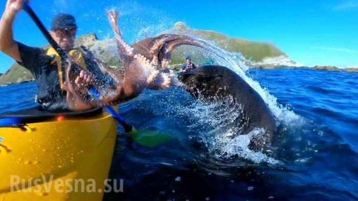 Тюлень наказал австралийца осминогом за нарушение своей территории