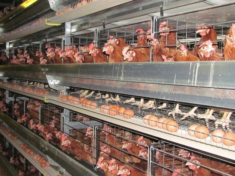 Птицефабрика ynews, еда, интересное, курица, магнит, накачивают, продажа