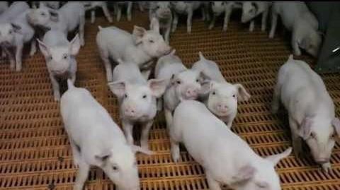 В Мордовии группа компаний «Талина» ввела вэксплуатацию новый свинокомплекс-стотысячник