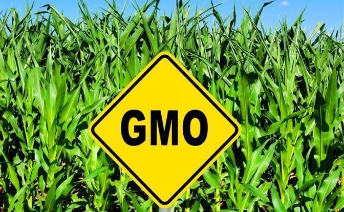 ГМО в комбикормах животных действуют на людей