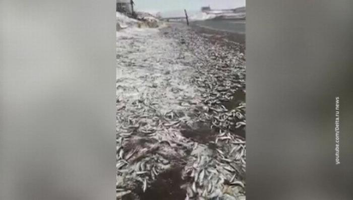 На берега острова Итуруп выбросило тонны селедки
