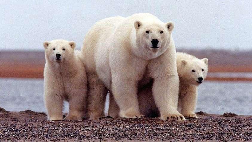 ВАрхангельской области введён режим ЧСиз-за нашествия белых медведей (+ВИДЕО)