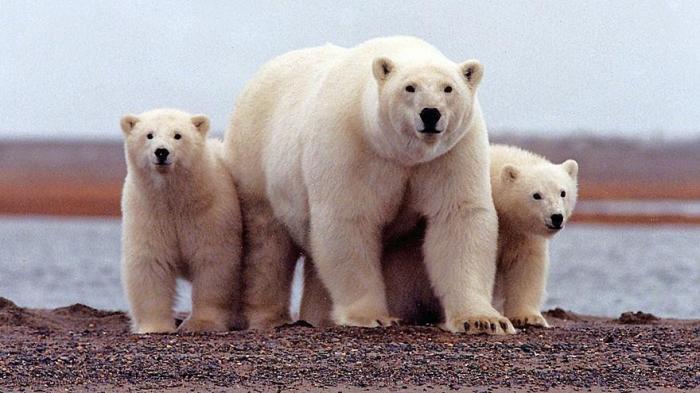 ВАрхангельской области введён режим ЧСиз-за массового нашествия белых медведей