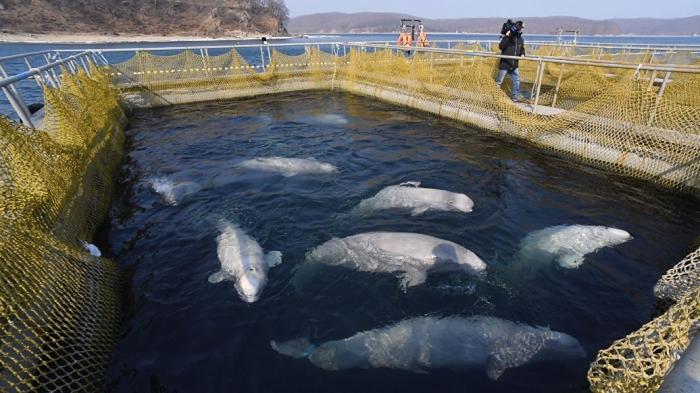Глава Приморья обещал содействие Жану-Мишелю Кусто при визите в «китовую тюрьму»