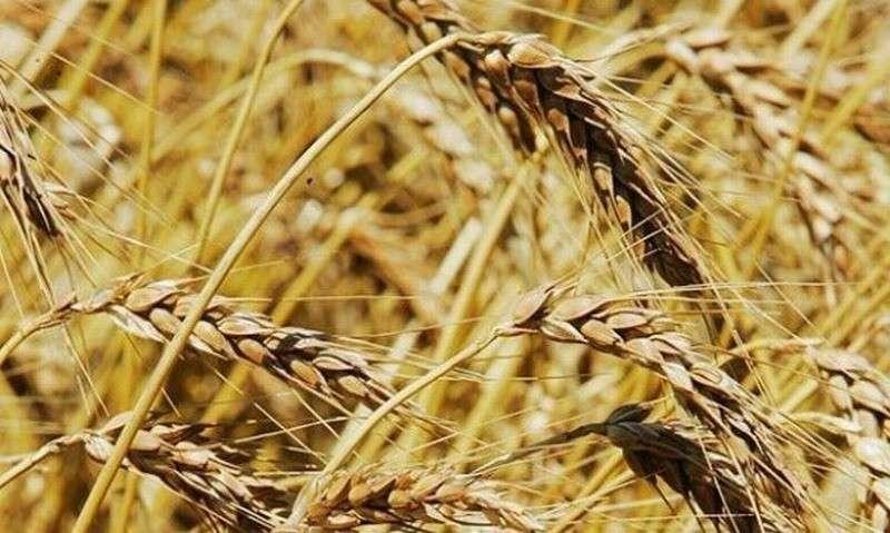 В России почти вся пшеница генно-модифицированная