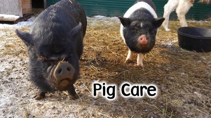 США: раз Китай отказался от нашей сои, скормим ее свиньям, пока все фермеры не обанкротились